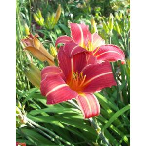 Hemerocallis 'Neyron Rose' - Sásliliom (rózsaszín)