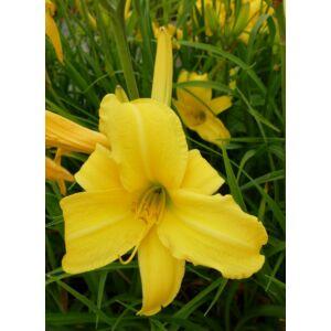 Hemerocallis 'Northbrook Star' - Citromsárga sásliliom