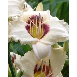 Hemerocallis 'Pandora's Box' - Sásliliom (vajszínű bordó rózsával)