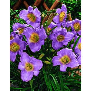 Hemerocallis 'Prairie Blue Eyes' - Sásliliom (liláskék)