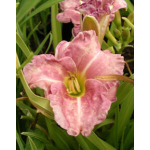 Hemerocallis 'Romantic Rose' – Sásliliom