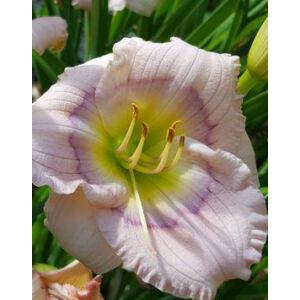 Hemerocallis 'Siloam David Kirchhoff' - Rózsaszín sásliliom