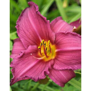 Hemerocallis 'Summer Wine' - Sásliliom (lila-bordó)