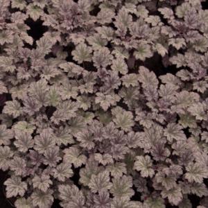 Heuchera 'Frosted Violet®' - Tűzeső
