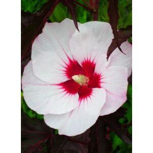 Hibiscus moscheutos 'Carousel Jolly Heart' – Mocsári hibiszkusz