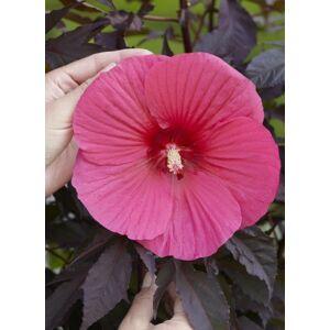 Hibiscus moscheutos 'Carousel Pink Passion' – Mocsári hibiszkusz