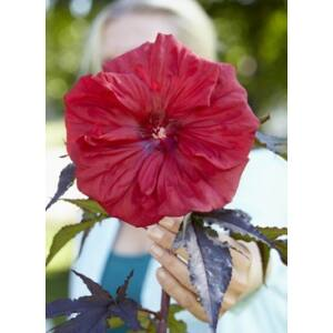 Hibiscus moscheutos 'Carousel Red Wine' – Mocsári hibiszkusz