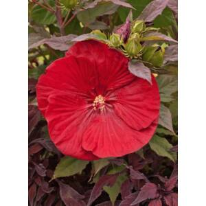 Hibiscus moscheutos 'Cranberry Crush' – Mocsári hibiszkusz