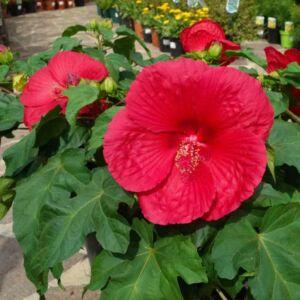 Hibiscus moscheutos 'Extreme Oak Red' – Mocsári hibiszkusz