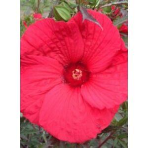 Hibiscus moscheutos 'Fireball' – Mocsári hibiszkusz