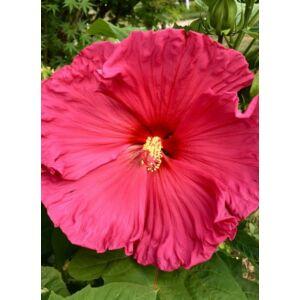 Hibiscus moscheutos 'Jazzberry Jam' – Mocsári hibiszkusz