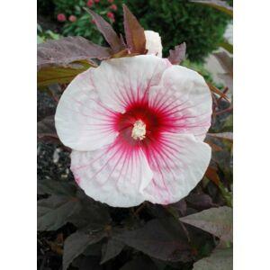 Hibiscus moscheutos 'Kopper King' – Mocsári hibiszkusz