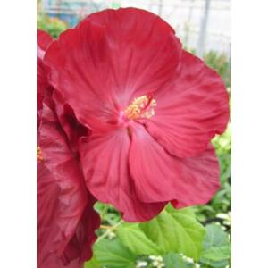 Hibiscus moscheutos 'Robert Fleming' – Mocsári hibiszkusz