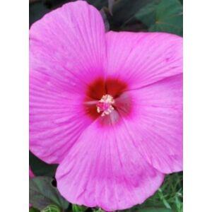 Hibiscus moscheutos 'Royal Gems' – Mocsári hibiszkusz