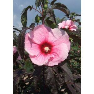 Hibiscus moscheutos 'Summer Storm' – Mocsári hibiszkusz