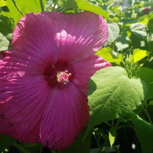 Hibiscus x moscheutos 'Nippon' F1 - Óriás mályvacserje sötét rózsaszín