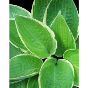 Hosta fortunei 'Aureomarginata' – Árnyékliliom (14-es cserépben)