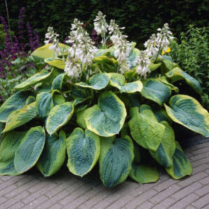 Hosta 'Frances Williams' - Árnyékliliom