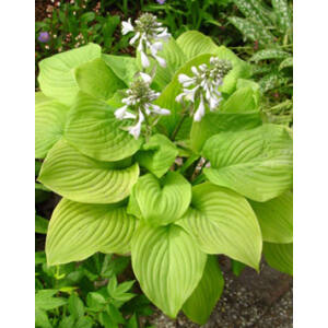 Hosta 'Fried Bananas' - Árnyékliliom
