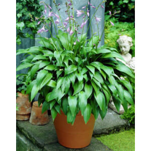 Hosta lancifolia – Lándzsalevelű árnyékliliom