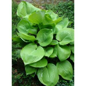 Hosta 'Sum and Substance ' – Árnyékliliom