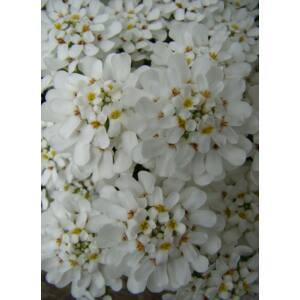 Iberis sempervirens 'Fischbeck' - Örökzöld tatárvirág