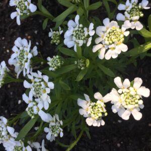 Iberis sempervirens 'White Out' – Örökzöld tatárvirág