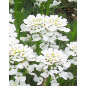 Iberis sempervirens 'Zwergschneeflocke' - Örökzöld tatárvirág (fehér)