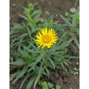 Inula ensifolia – Kardlevelű peremizs