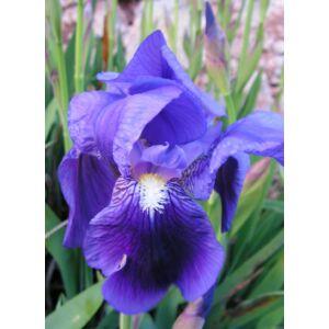 Iris germanica - lila