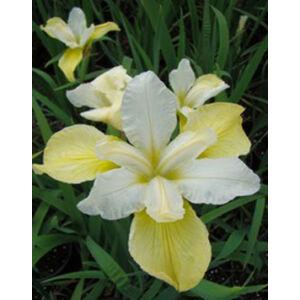 Iris sibirica 'Butter and Sugar' - Szibériai nőszirom (fehér-sárga)