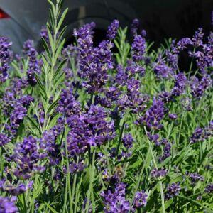 Lavandula angustifolia 'Ardeche Blue' – Közönséges levendula