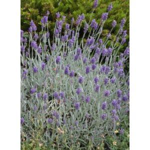 Lavandula angustifolia 'Silver Mist' – Keskenylevelű (angol) levendula