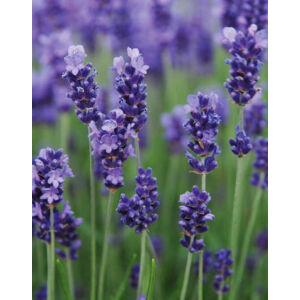 Lavandula angustifolia 'Hidcote Blue Strain' – Sötétkék közönséges levendula