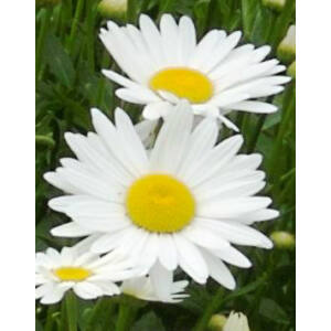 Leucanthemum superbum 'Becky' (Chrys. max.) - Fehér margaréta, sárga középpel