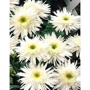 Leucanthemum superbum 'Wirral Supreme' (Chrys. max.) - Margaréta (fehér, féltelt)