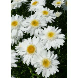 Leucanthemum x superbum (féltelt, fehér)
