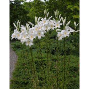 Lilium candidum – Madonnaliliom