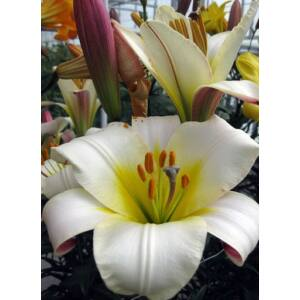 Lilium regale 'White Planet' - Királyliliom