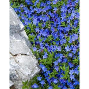 Lithodora diffusa 'Heavenly Blue' – Alacsony kőmagcserje