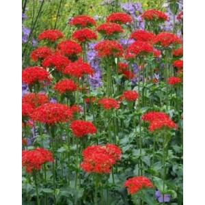 Lychnis chalcedonica 'Red Cross' – Égőszerelem