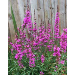 Lythrum virgatum 'Dropmore Purple' – Vesszős füzény