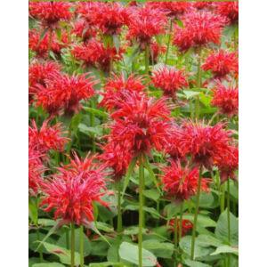 Monarda 'Gardenview Scarlet' - Méhbalzsam