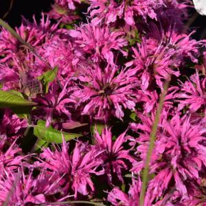 Monarda 'Pink Lace' - Méhbalzsam