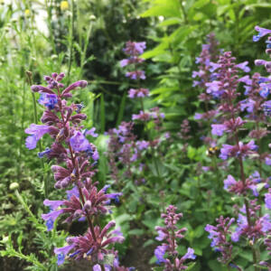 Nepeta grandiflora 'Blue Danube'  – Nagyvirágú macskamenta