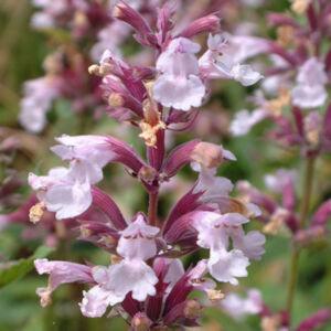 Nepeta grandiflora 'Dawn to Dusk'  – Nagyvirágú macskamenta