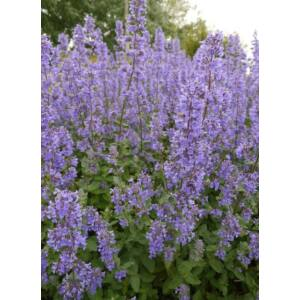 Nepeta grandiflora 'Summer Magic' - Macskamenta