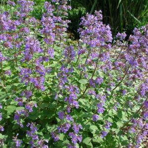 Nepeta racemosa 'Blue Wonder' – Kaukázusi macskamenta