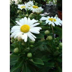 Nipponanthemum nipponicum – Japán margitvirág