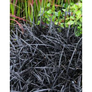 Ophiopogon 'Black Dragon' – Kígyószakáll